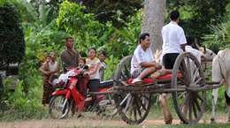 Riding the ox cart in the countryside in Phnom Penh Cambodia
