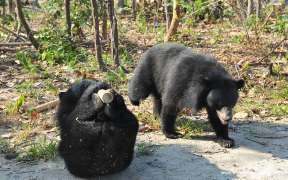 The sun bears at Cambodia Bear Sanctuary in Phnom Penh