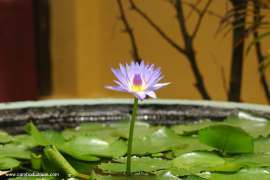 The lotus flower in the Royal Palace in Phnom Penh