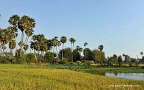 Farmers are  on the rice padding field in Siem Reap