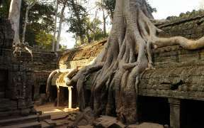 Ta Prohm temple covered in tree roots, Angkor Wat, Cambodia.