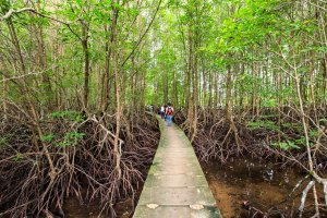 Bang Kayak is a largest mangrove forests in Krasaop natural park (Koh Kong)