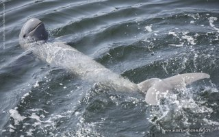 The Irrawaddy dolphin in Kratie Cambodia