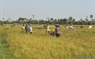 Khmer people harvest rice